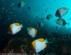 BD-090922-Bunaken-9223733-Hemitaurichthys-polyepis-(Bleeker.-1857)-[Pyramid-butterflyfish].jpg